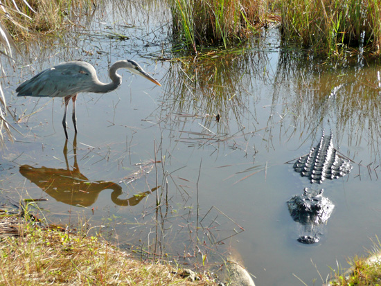 This Great Blue Heron shares his space carefully with an alligator<br>(GPS: N 25 45.385 W 80 45.994)